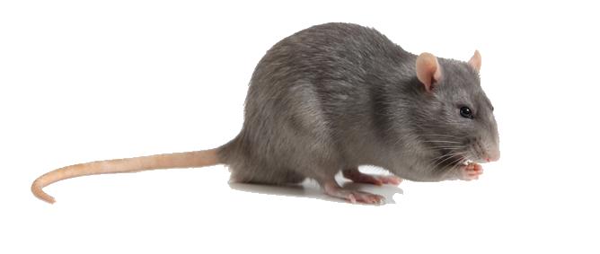 Rottebekæmpelse | Fjern rotter eller skadedyr
